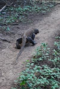 Komodo (80)