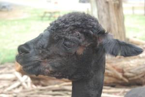 Black Alpaca (2)